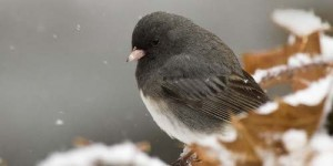 Junco snow2